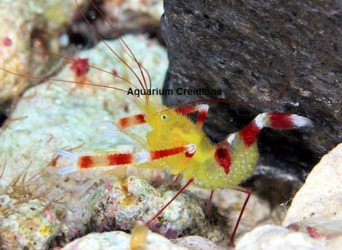 Picture of Golden Coral Banded Shrimp, Stenopus zanzibaricus