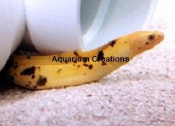 saltwater aquarium eels for sale