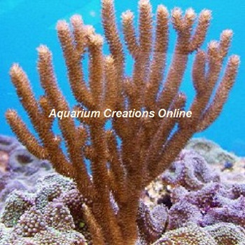 Picture of Golden Sea Rod Gorgonian