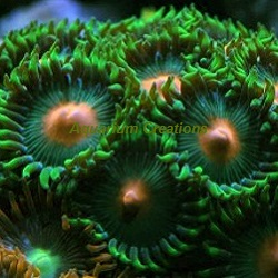Picture of Aquacultured Green Bay Packers Zoanthids