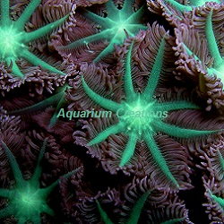 Picture of Aquacultured Neon Green Clove Polyps Polyps