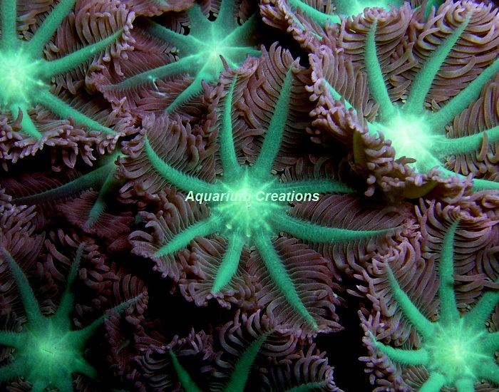 Picture of Neon Green Clove Polyps