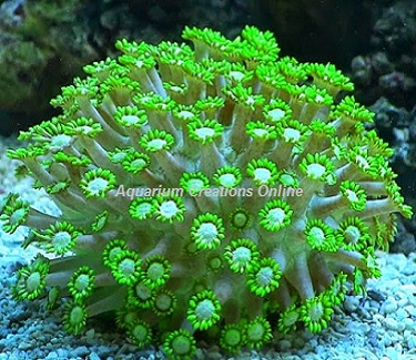 Picture of Neon Green Flower Pot Coral, Goniopora sp.