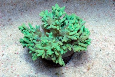 Picture of Green Hard Finger Leather Coral, Cultured