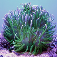 Picture of Green Long Tentacle Anemone
