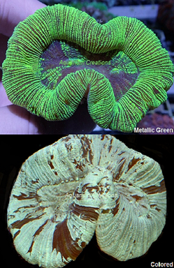 Picture of Aussie Green & Metallic Green Open Brain Corals