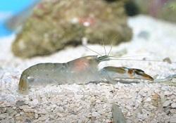 Picture of Green Pistol Shrimp, Alpheus euphrosyne