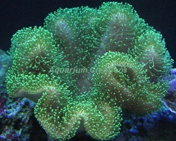Picture of Papua Green Toadstool Leather Coral