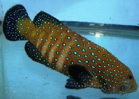 Marine Aquarium Groupers
