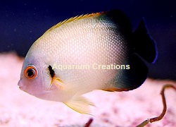25 dwarf angelfish small marine angelfish information on for Fish compatible with angelfish