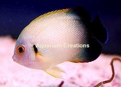 Saltwater Aquarium Angelfish | Marine Angelfish | Ocean ...