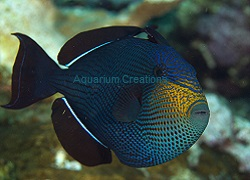 Picture of Hawiian Black Triggerfish, Melichthys indicus
