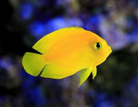 Yellow Angelfish Herald S Angelfish False Lemonpeel Angelfish Dwarf Angel Saltwater Aquarium Fish For Marine Aquariums