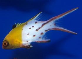 Saltwater Hogfish