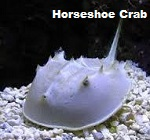 Picture of Horseshoe Crab