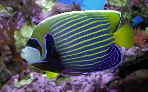 Purchase a Juvenile Imperator Angelfish