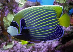 Picture of Adult Imperator Angelfish