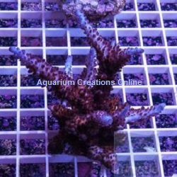 Picture of Indo Purple Tip Staghorn Acropora, Captive Grown