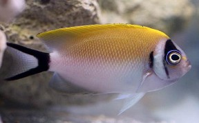 Picture of Japanese Masked Swallowtail Angelfish