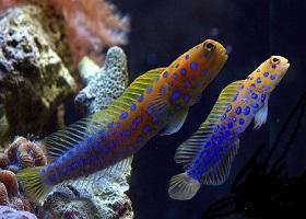 Saltwater Aquarium Jawfish Species