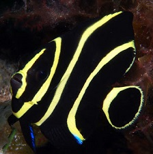 Picture of Juvenile French Angel fish