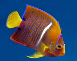 Picture of Juvenile Passer Angelfish, Holacanthus passer