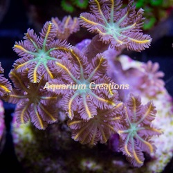 Picture of Aquacultured Kaleidoscope Clove Polyps