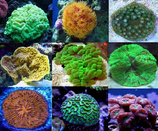Aquarium coral pack saltwater aquarium corals description lps corals encompass a broad and interesting range of species some of the most popular corals for beginners in the saltwater aquarium hobby publicscrutiny Images