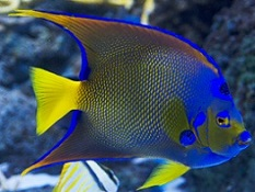 Angelfish for Sale: Saltwater Angelfish for the home aquarium