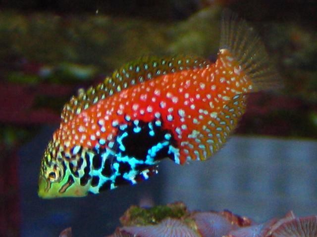 Wrasse - Reef Safe : ... Wrasse Reef safe wrasse fish cleaner wrasse and other reef safe