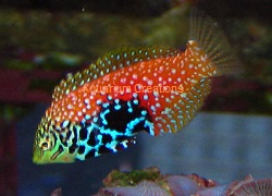 Picture of Blue Star Leopard Wrasse, Macropharyngodon bipartitus