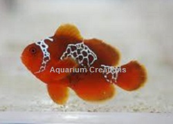 Picture of Lightening Maroon Clownfish