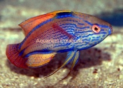 Picture of Lineatus Fairy Wrasse, Cirrhilabrus lineatus
