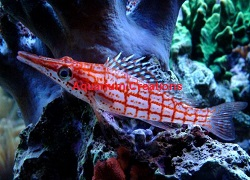 Picture of Longnose Hawkfish