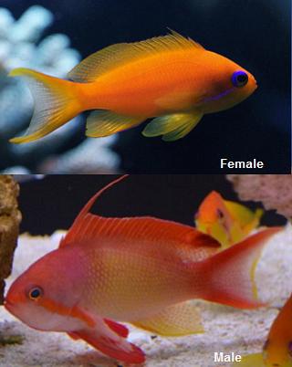 Picture of Lyretail Anthias