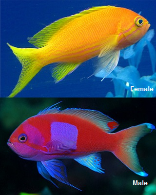 Picture of Squareback Anthias