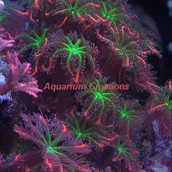 Picture of Mandarin Fireworks Clove Polyps