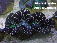 Picture of Black and White Ultra Maxima Clams