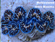 Picture of Multicolor Maxima Clam Aquacultured,(Tridacna Maxima)