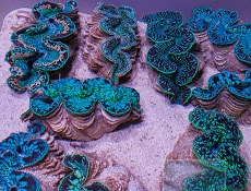 Picture of Maxima Clams from Tahiti, Tridacna Maxima