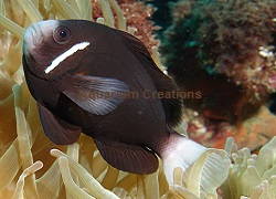 Some clownfish have no personality, Australian study finds ... |Mccullochi Clownfish