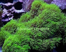 Picture of Aquacultured Metallic Green Star Polyps