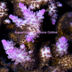 Picture of Miami Orchid Acropora Coral, Aquacultured ACOL