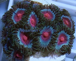 Picture of Miami Vice Zoanthids