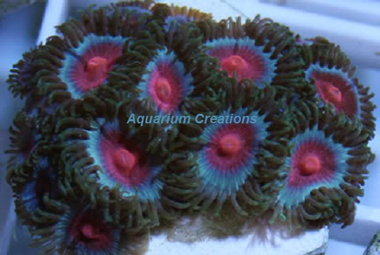 Picture of Miami Vice Zoanthid