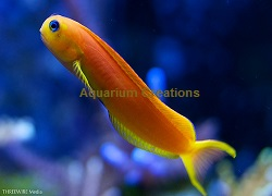 Picture of the Golden Midas Blenny, Ecsenius midas