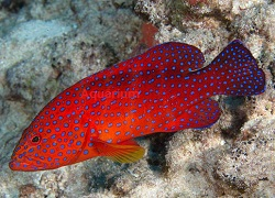 Picture of Miniatus Grouper