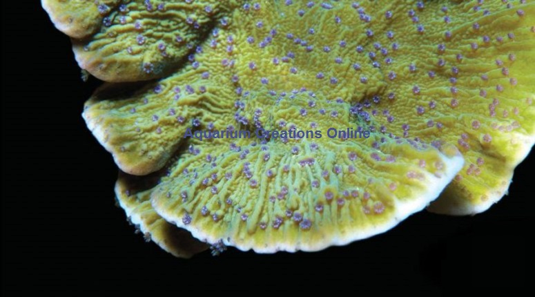 Picture of Blue Polyp Montipora Capricornis, Aquacultured Blue Polyp