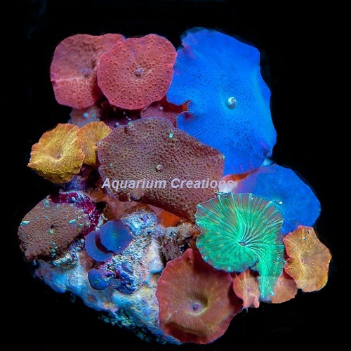 Picture of Rainbow Rock Multicolor Mushroom Coral
