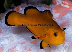 Picture of Naked Ocellaris Clownfish